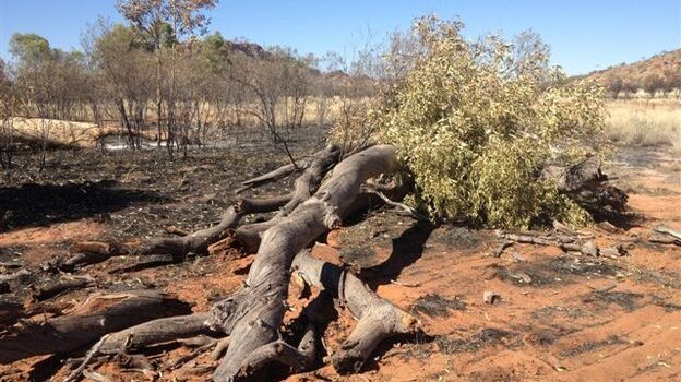 "One of the ""ghost gums,"" which fell to the ground after being set afire."