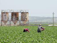 Farmworkers like these in California picking produce may soon be required by the FDA to take more precautions against spreading foodborne illness.