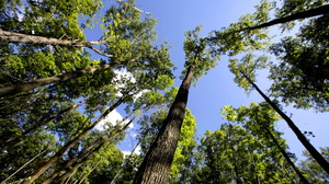 Aspen trees tower overhead in Chequamegon-Nicolet National Forest in northern Wisconsin.