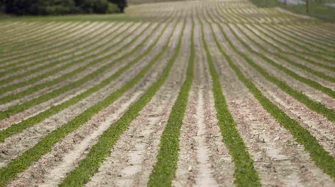Peanut plants grow on a Halifax, N.C., farm that received federal subsidies in 2011.