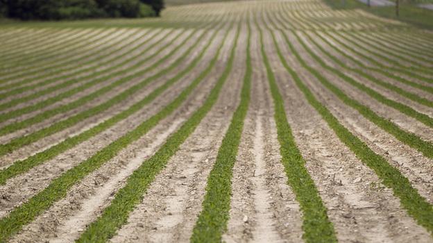 Peanut plants grow on a Halifax, N.C., farm that received federal subsidies in 2011. (MCT /Landov)