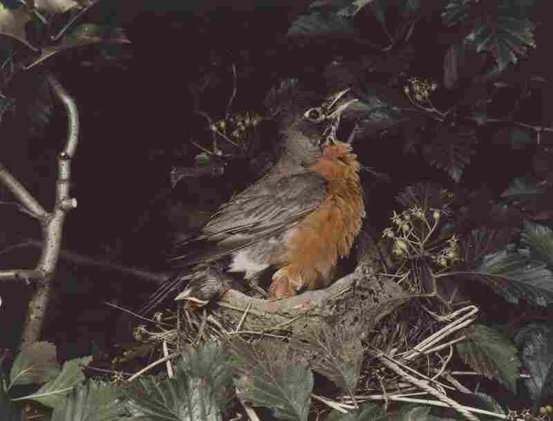 Robin, Illinois, June 1941 [Turdus migratorius]