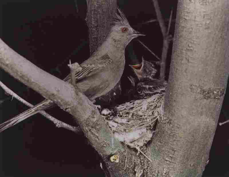Phainopepla, Female, Arizona, April 1941