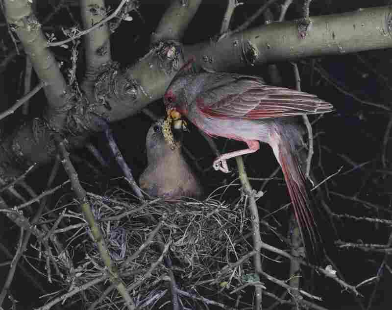 Arizona Pyrrhuloxia, Arizona, May 1941 [Cardinalis sinuatus]