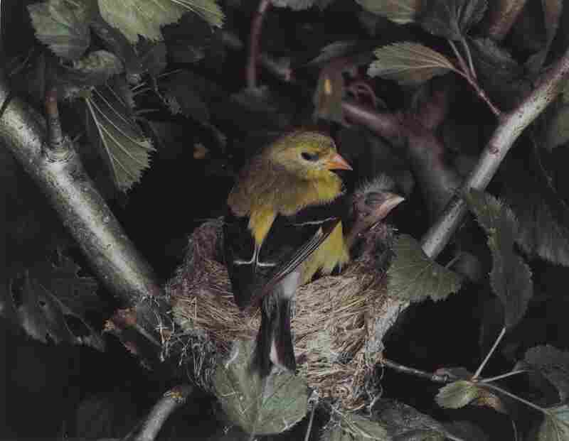 Eastern Goldfinch, Female, Illinois, August 5, 1941