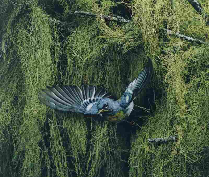 Parula Warbler, Male, Flying, Great Spruce Head Island, Maine, June 22, 1968 [Parula americana]