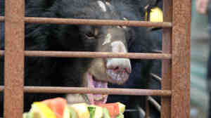 One of the six bears that were rescued from a bile farm is given fresh fruit Wednesday, before being examined. The animals were among some 10,000 bears that Animals Asia says are held in cages for their bile in China.