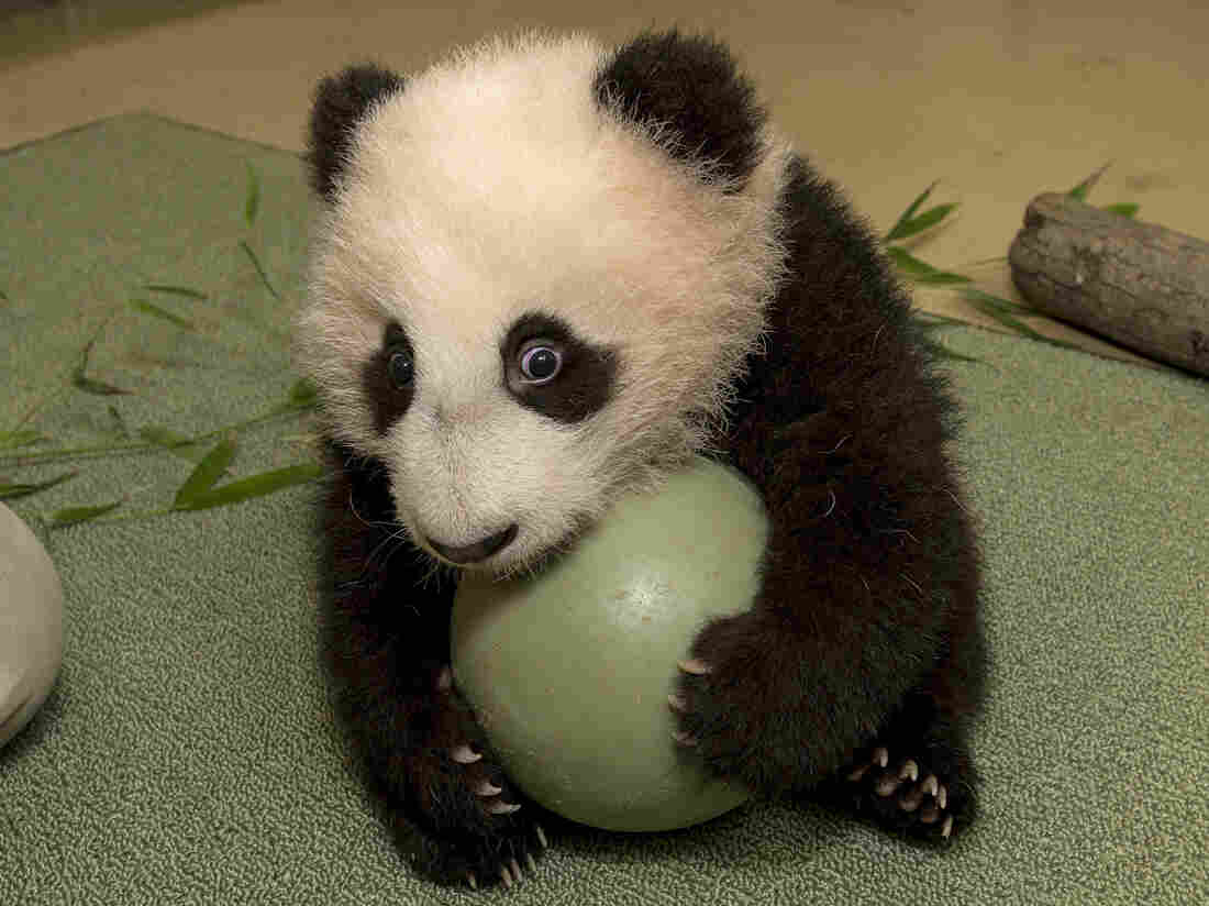 Panda cub Xiao Liwu was eager to play with a plastic ball during an exam last month. He made his public debut at the San Diego Zoo on Thursday.