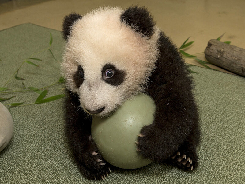Agreed Baby Pandas Are Cute But Why The Two Way Npr