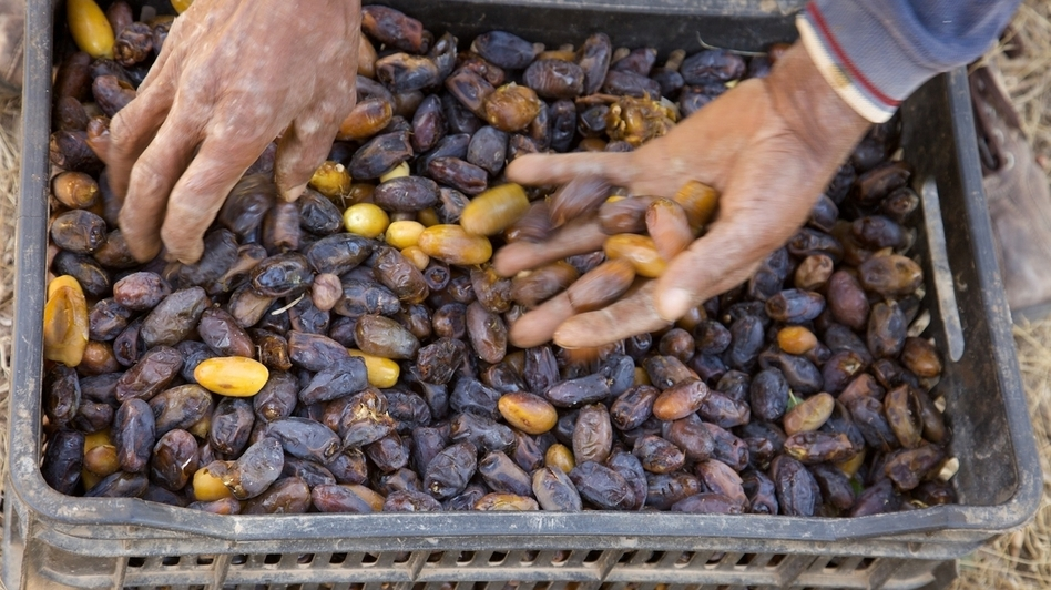 A Moroccan date harvester sorts his yield, which was well above average this year.