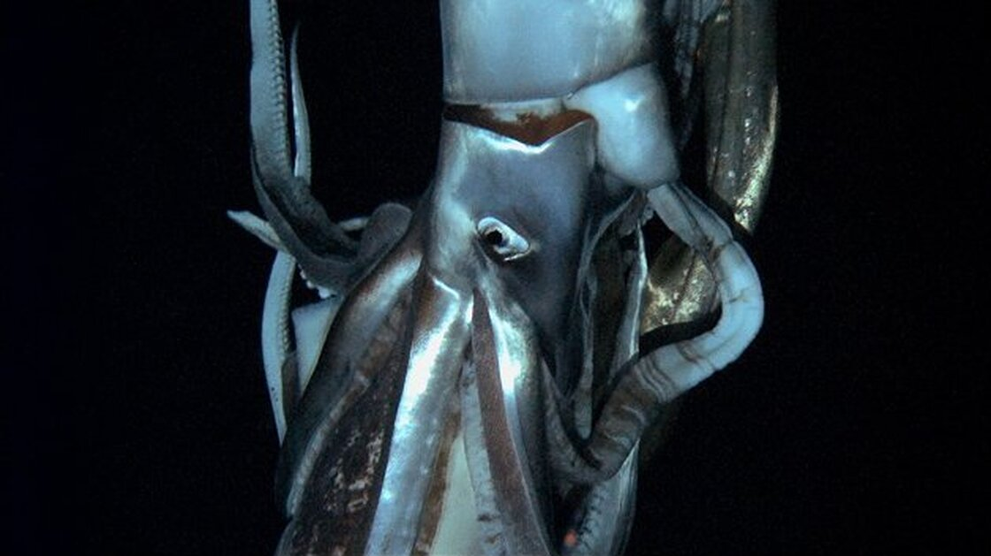 A giant squid stars in this still image taken from the footage Edie Widder shot. It's the first-ever video of these giant squids, and it'll debut in a Discovery Channel documentary airing in late January.