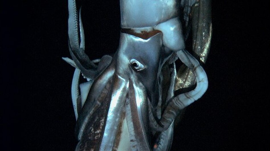 A giant squid stars in this still image taken from the footage Edie Widder shot. It's the first-ever video of these giant squids, and it'll debut in a <em>Discovery Channel</em> documentary airing in late January.