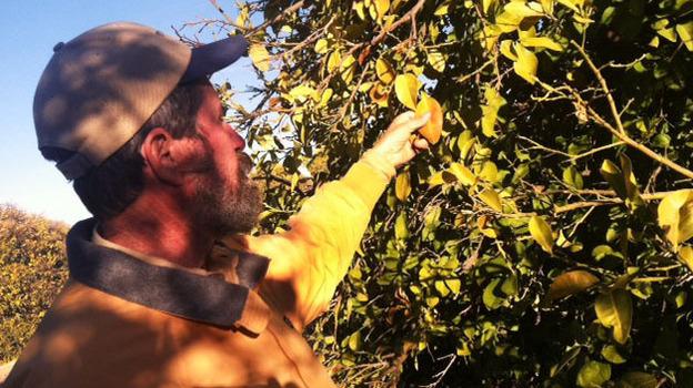 James Truman inspects a grapefruit tree for frost damage on his 21-acre citrus farm northwest of Phoenix. (KJZZ)