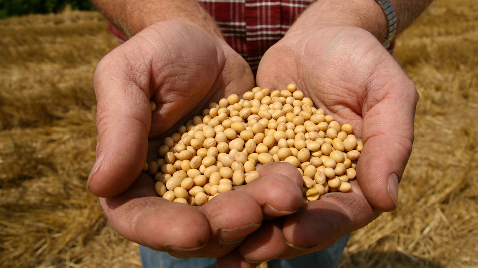 A farmer holds  Monsanto's Roundup Ready soybean seeds at his family farm in Bunceton, Mo. (AP)