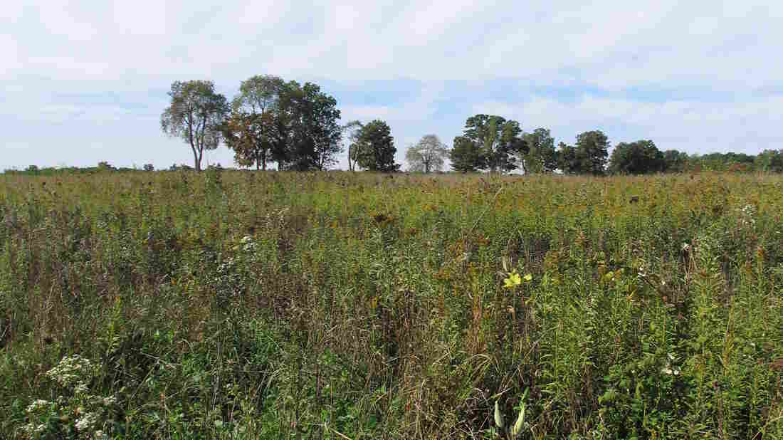 Vegetation like the kind growing here at Michigan State University's Kellogg Biological Station could one day be used to feed small biofuel refineries spread throughout the Midwest.