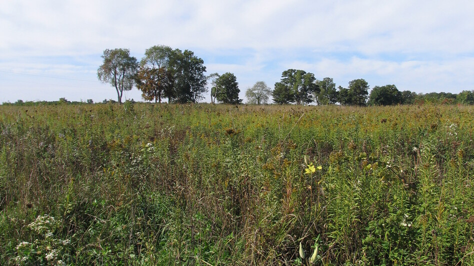 Vegetation like the kind growing here at Michigan State University's Kellogg Biological Station could one day be used to feed small biofuel refineries spread throughout the Midwest. (Michigan State University)
