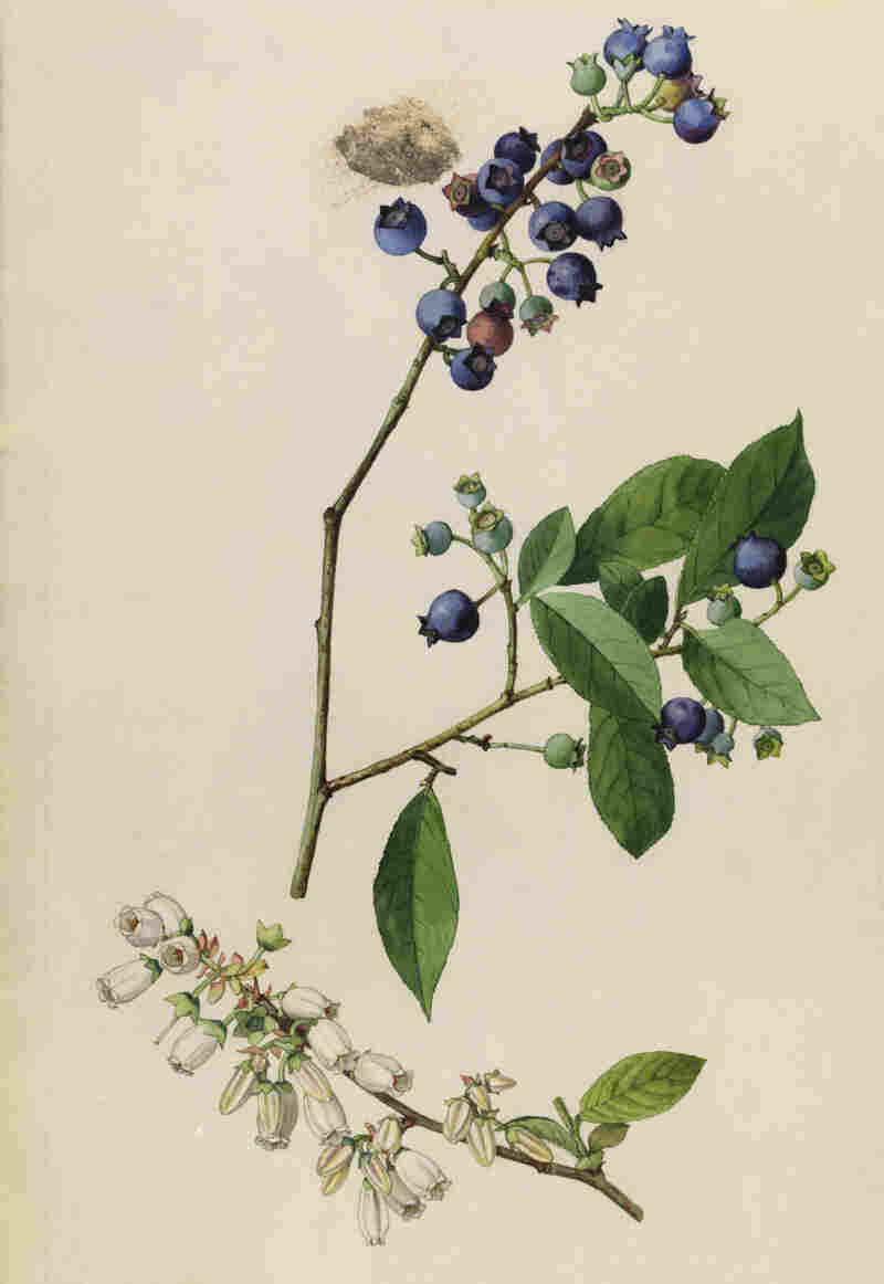Thoreau's records showed that the first high-bush blueberries, seen in this 1919 drawing, always flowered in mid-May. Now they're seen blooming in the first week in April.