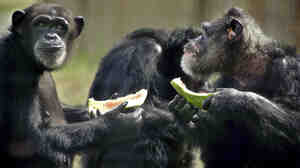 Hannah and Marty eat watermelon snacks at the Save the Chimps sanctuary.
