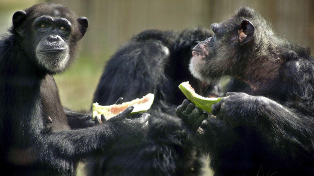 Hannah and Marty eat watermelon snacks at the Save the Chimps sanctuary. (Save the Chimps)