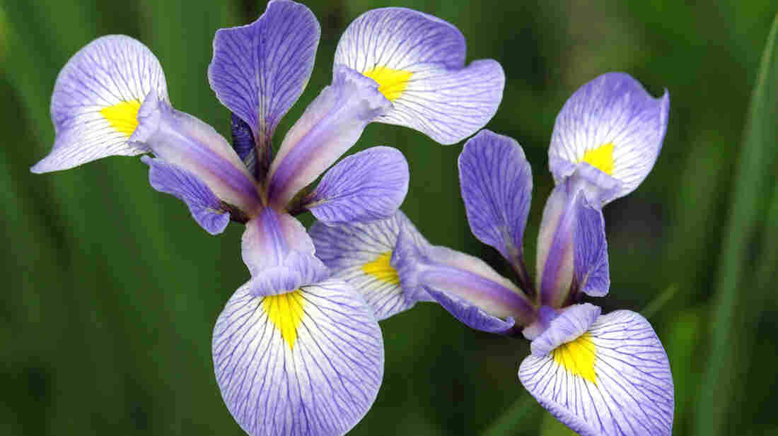 Researchers in Massachusetts and Wisconsin are comparing modern flower blooming data with notes made by Henry David Thoreau and Aldo Leopold. The sight of irises blooming during a Boston winter helped spur the research.