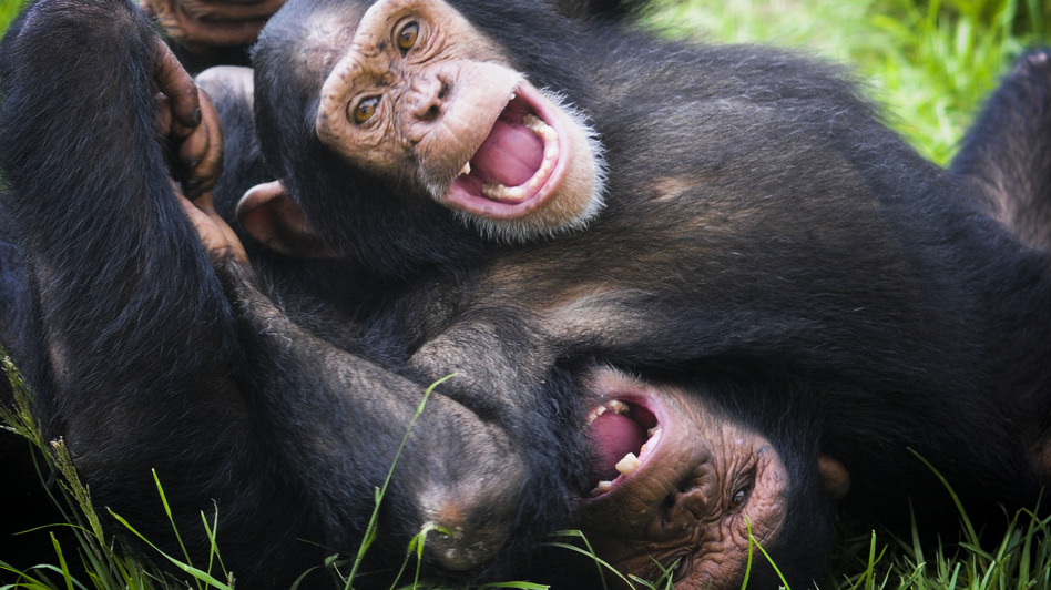 Jude and JB play at Save the Chimps. The facility is home to 266 chimps. (Save the Chimps)