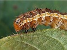 The fall armyworm, a corn pest, is now also a vaccine factory.