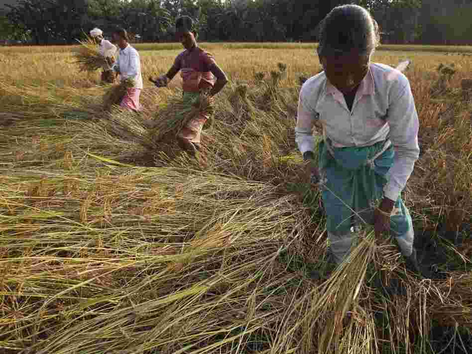 Women in India harvesting rice. The global rice panic of 2008 started in India.