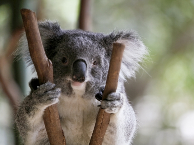 Koalas aren't really bears, but we don't seem to mind.