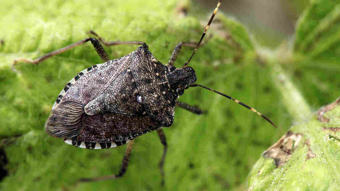 The stink bug population is six times larger this year than last.