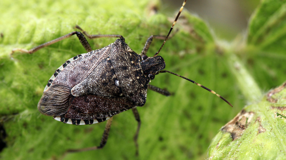 The stink bug population is six times larger this year than last. (AP)
