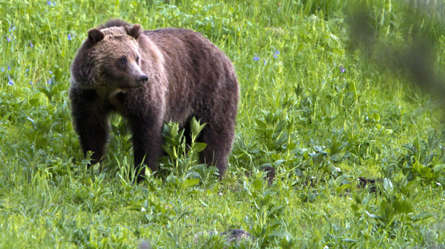 A grizzly bear roams near Beaver Lake in Yellowstone National Park, Wyo. Some environmentalists hope President Obama lives up to campaign promises regarding climate change in his second term. (AP)