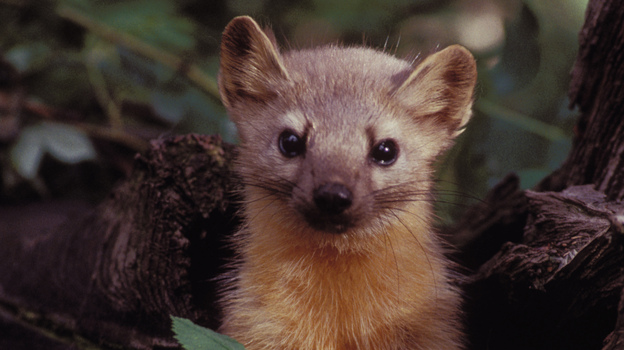 A group of volunteers is helping biologists see whether there are any martens left in the Olympic National Forest in Washington state. (U.S. Fish and Wildlife Service )
