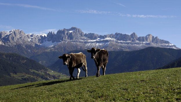 Cows graze in front of the Rosengarten mountain massif in northern Italy. Pasture grazing is practiced throughout the Alps.