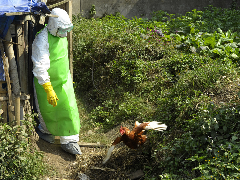 Health workers in Nepal culled chickens and destroyed eggs following an outbreak of bird flu in Kathmandu in October 2012.