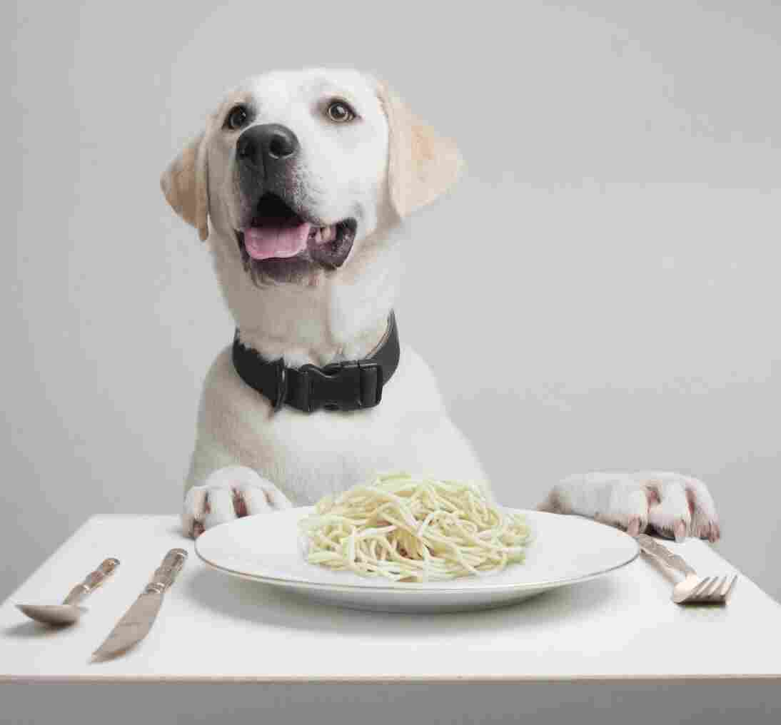 Got spaghetti? Dogs digest starch more efficiently than their wolf ancestors, which may have been an important step during dog domestication.