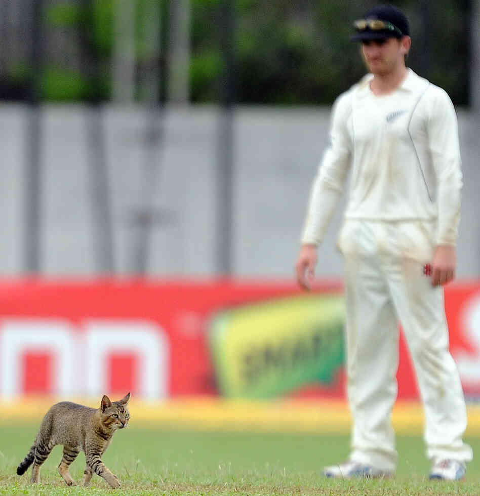 Here Kitty: New Zealand cricketer Kane Williamson looks on as a cat walks on the outfield during a test match between Sri Lanka and New Zealand.