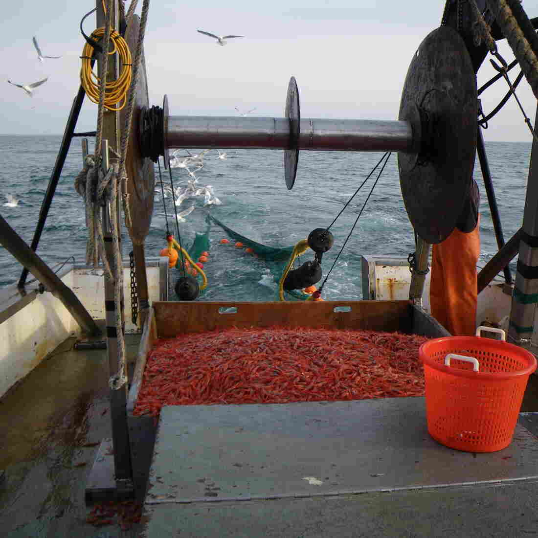 Trawlers in the Gulf of Maine are allowed to catch Maine shrimp during a limited season that started this week.