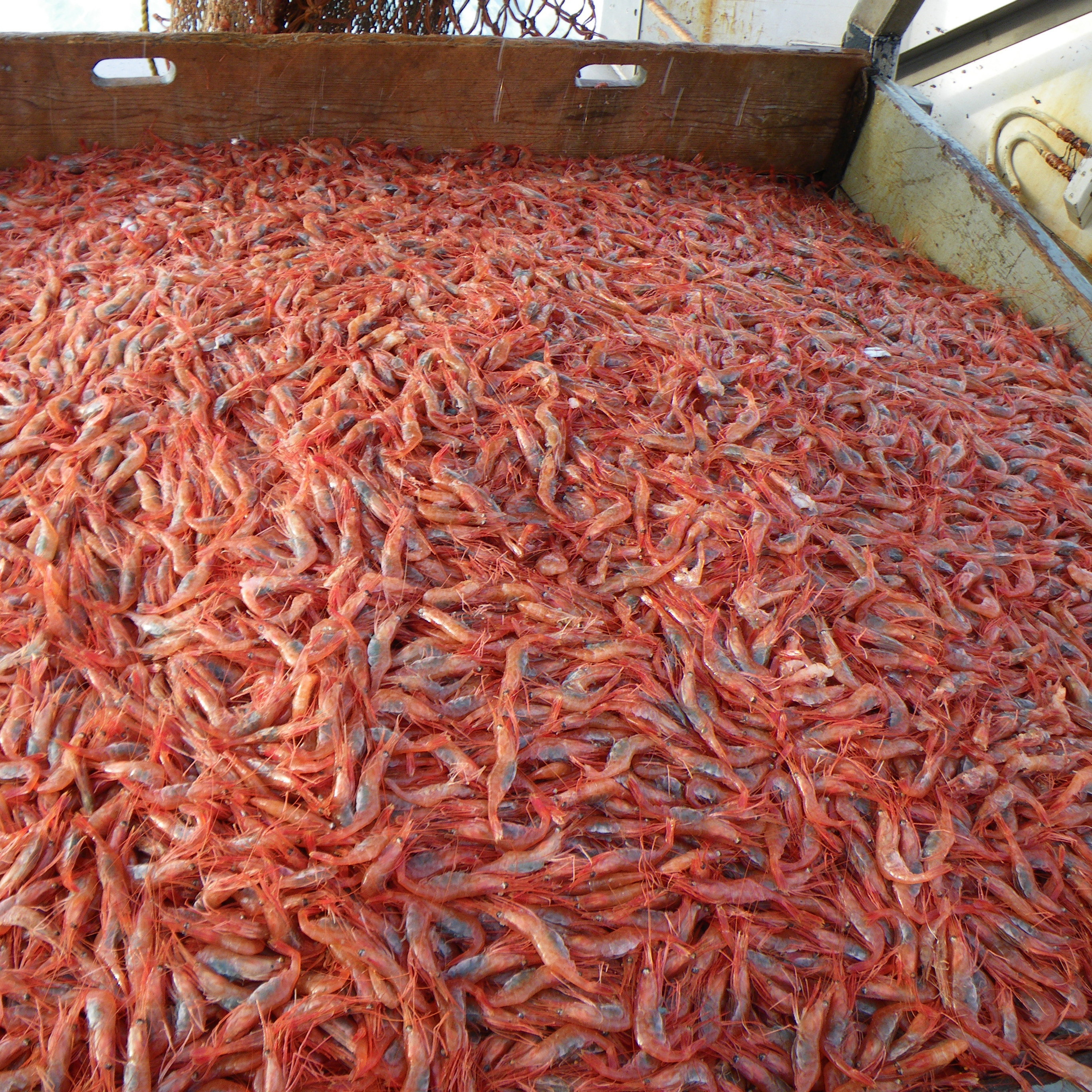 Maine shrimp are small and more red than pink. Mainers say the shrimp have a sweeter, more delicate flavor than shrimp from the American south or Asia.
