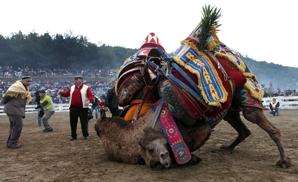 Two camels fight during the Camel Wrestling Championship in the town of Selcuk, near the western coastal city of Ismir, Turkey, on Jan. 15, 2012. It's the biggest event of the camel-wrestling season in Turkey.