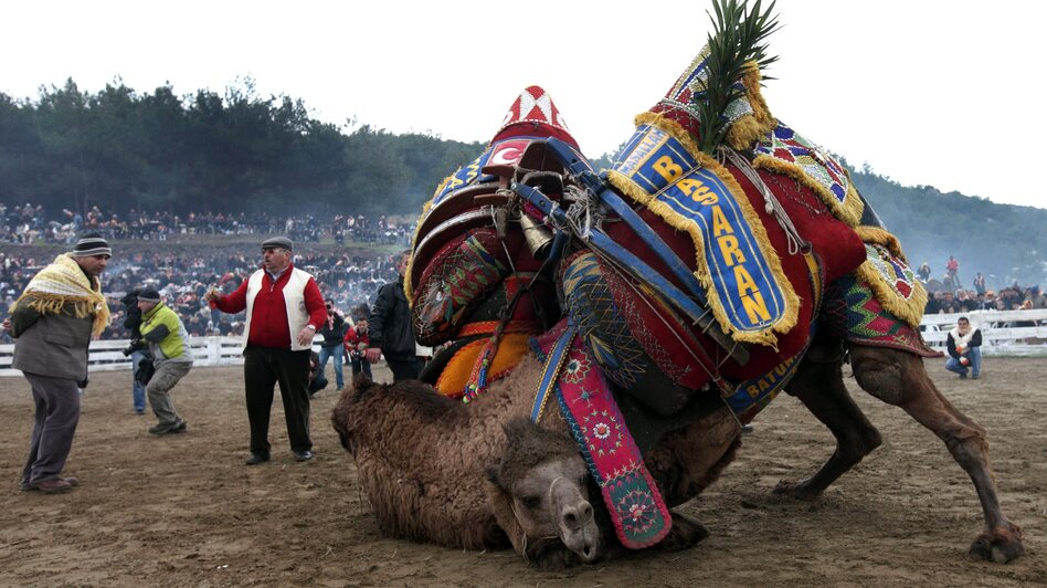 Two camels fight during the Camel Wrestling Championship in the town of Selcuk, near the western coastal city of Ismir, Turkey, on Jan. 15, 2012. It's the biggest event of the camel-wrestling season in Turkey. (EPA /Landov)