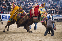 Two camels wrestle at the annual Camel Wrestling Championship near the village of Selcuk, Turkey. There are over a dozen camel wrestling tournaments on Turkey's Aegean Coast in the winter months and Selcuk's is the biggest. More than 120 bull (male) camels paired off.