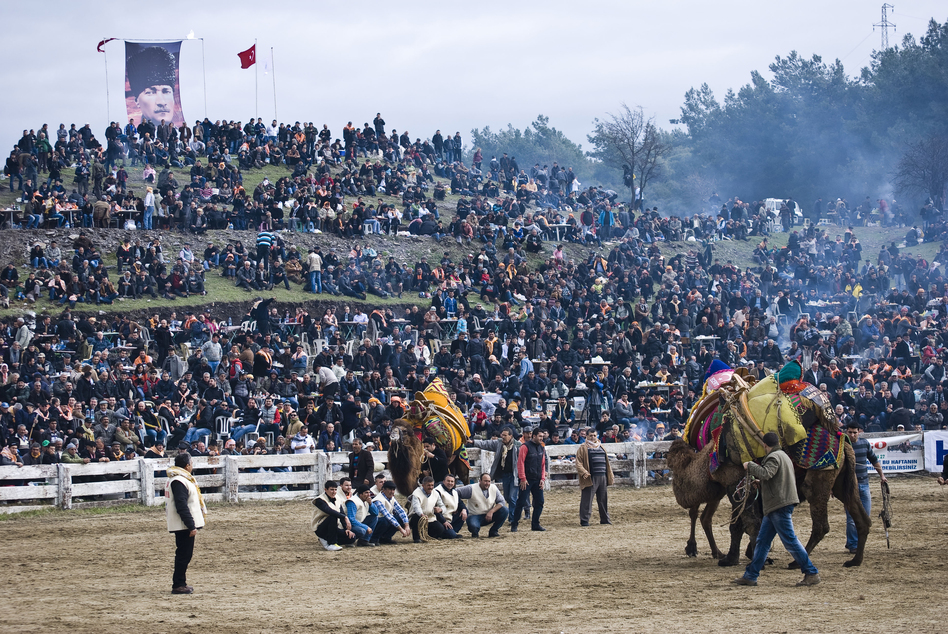 Two camels wrestle in front of a raucous crowd of nearly 10,000 spectators at Selcuk's Camel Wrestling Championship on January 20, 2013. (NPR)