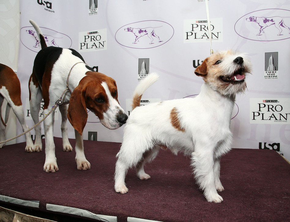 Tank, a treeing Walker coonhound dog, sizes up Legs, a Russell Terrier.