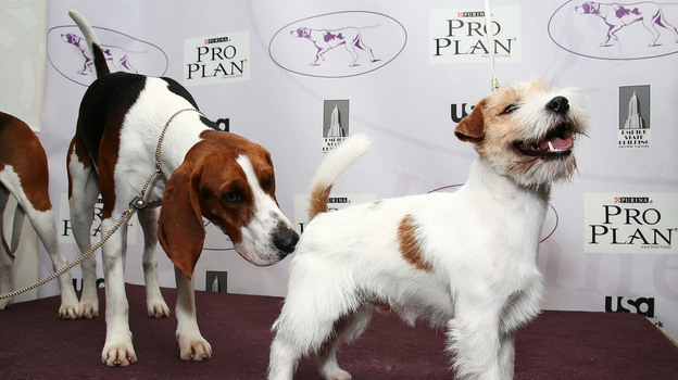 Tank, a treeing Walker coonhound dog, sizes up Legs, a Russell Terrier. (Getty Images)