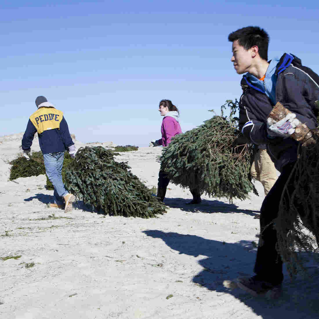 Daniel Riscoe, Jenna Hart, Anthony Chau and Caroline Lloyd (all students from the Peddie School in Hightstown, N.J.) carry donated Christmas trees across Island Beach.