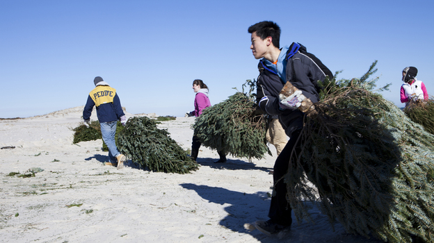 Daniel Riscoe, Jenna Hart, Anthony Chau and Caroline Lloyd (all students from the Peddie School in Hightstown, N.J.) carry donated Christmas trees across Island Beach. (NPR)