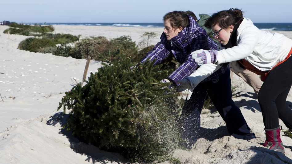 Alexandra Jones-Twaddell and Malley Chertkov add a Christmas tree to the growing line in Island Beach State Park. The two high-schoolers joined fellow students from the Peddie School to help rebuild dunes that had been flattened by Superstorm Sandy. (NPR)
