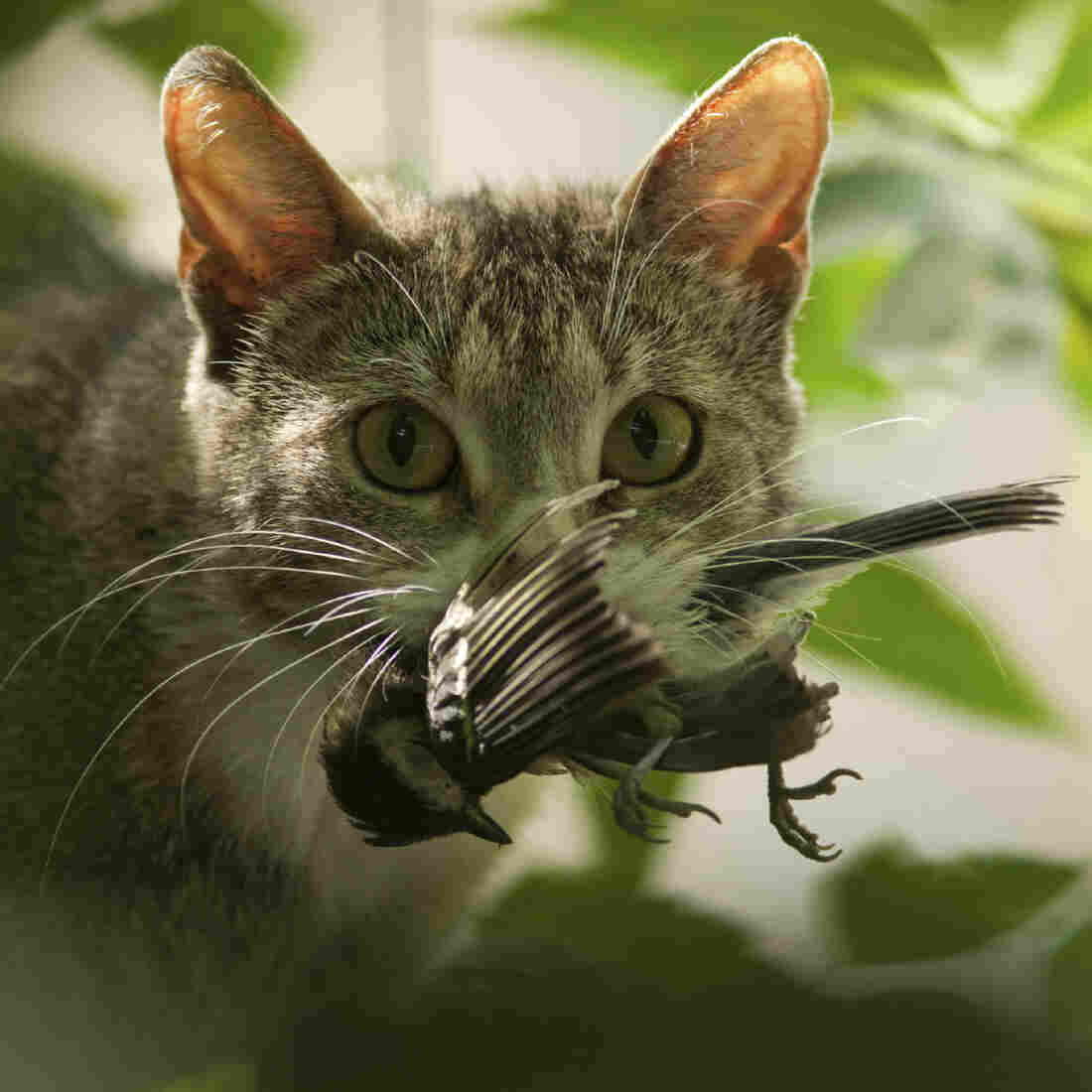 Killer Kitties? Cats Kill Billions Of Creatures Every Year