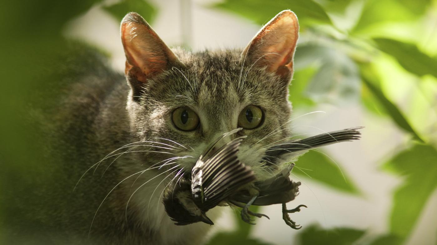 Killer Kitties? Cats Kill Billions Of Creatures Every Year ...