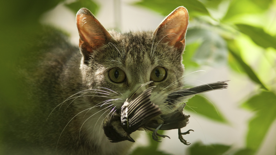 <strong>Out For Lunch?</strong> Researchers estimate that billions of birds and small mammals are killed by cats in the U.S. annually.